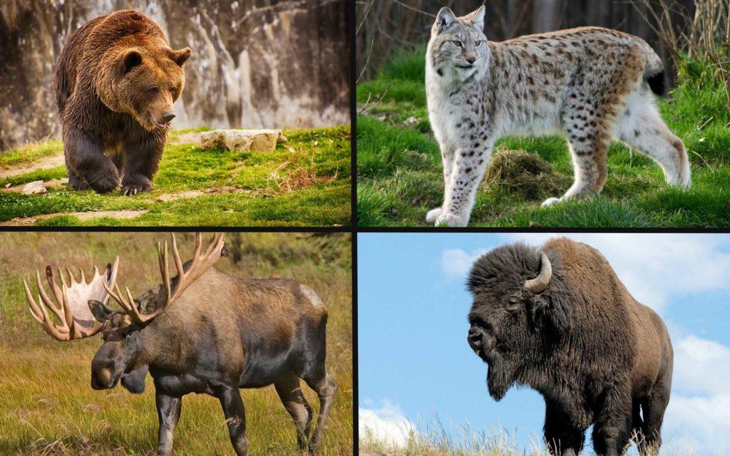 Естественные враги волка
