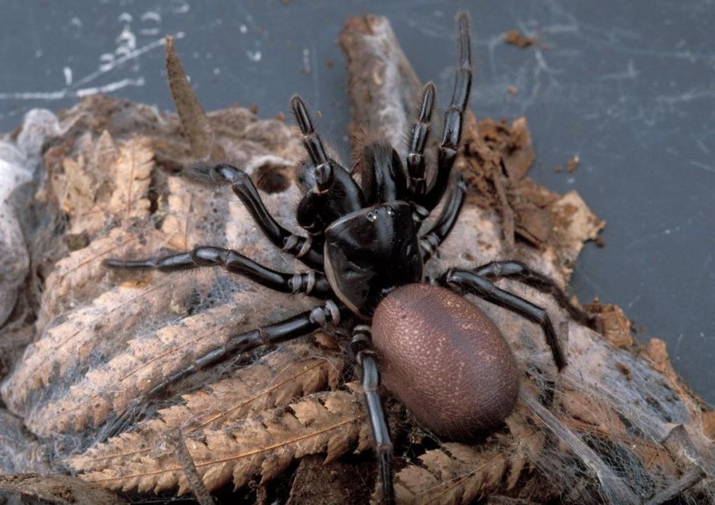 Воронковый паук