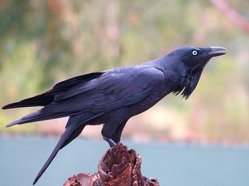 Австралийская ворона