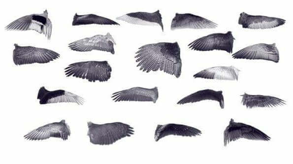 Форма крыльев птиц