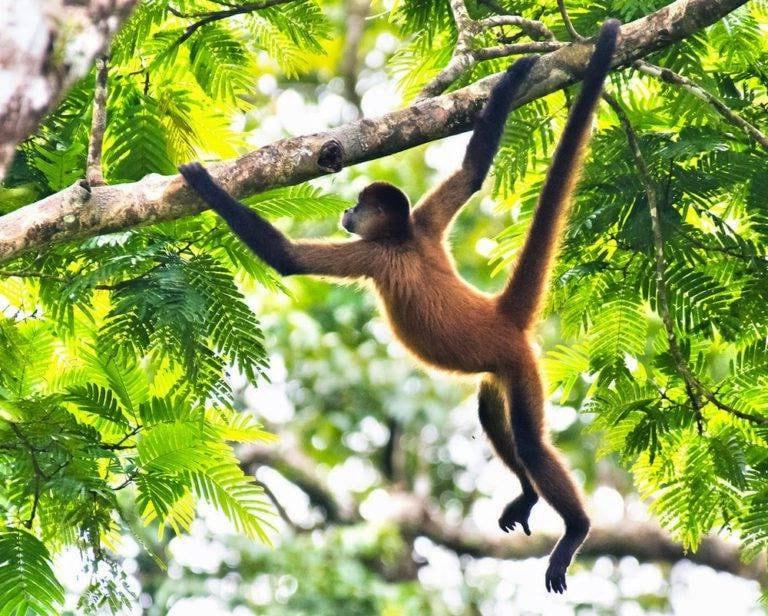 Цепкохвостая обезьяна