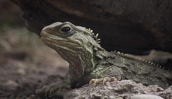 Ящерица Туатара (Гаттерия)
