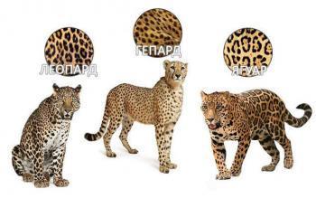 Как отличить ягуара от леопарда