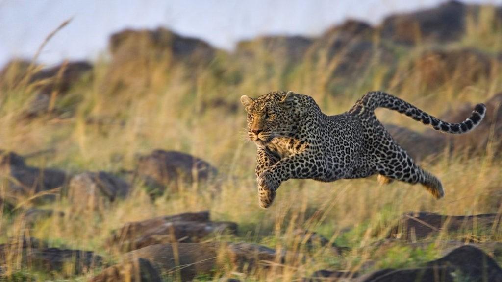 Охота ягуара