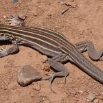 Почему у ящериц заново отрастает хвост?
