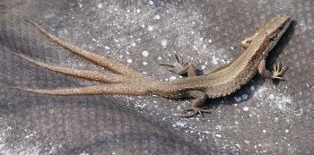 Ящерица с тремя хвостами
