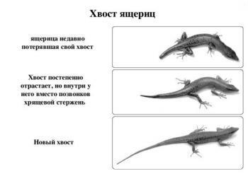 Процесс регенерации хвоста ящерицы