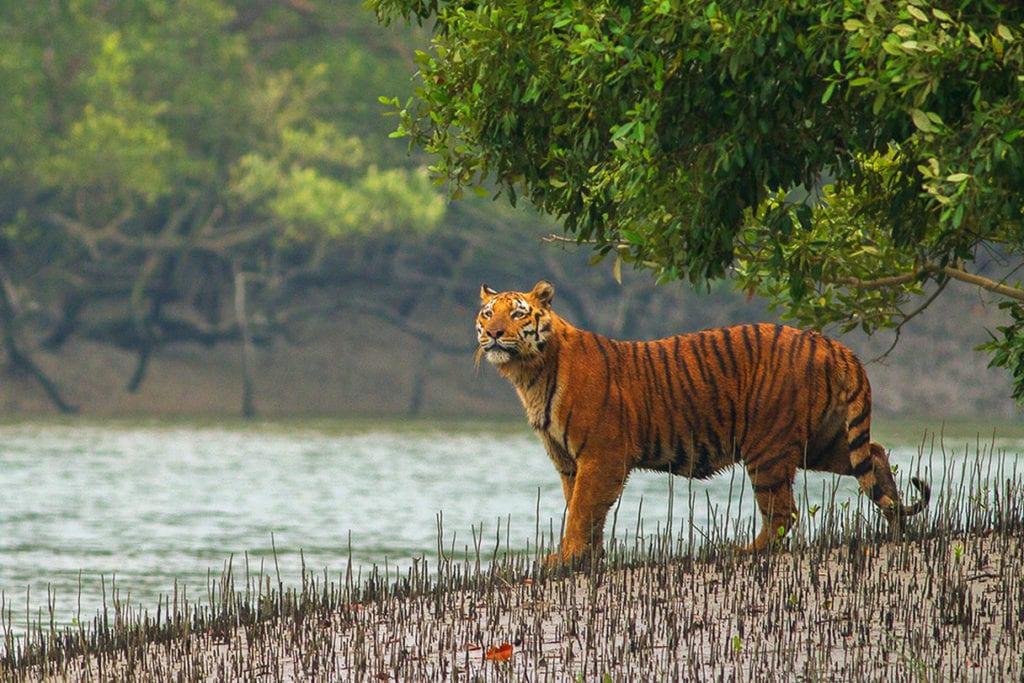Тигр в индийском заповеднике Сундарбан