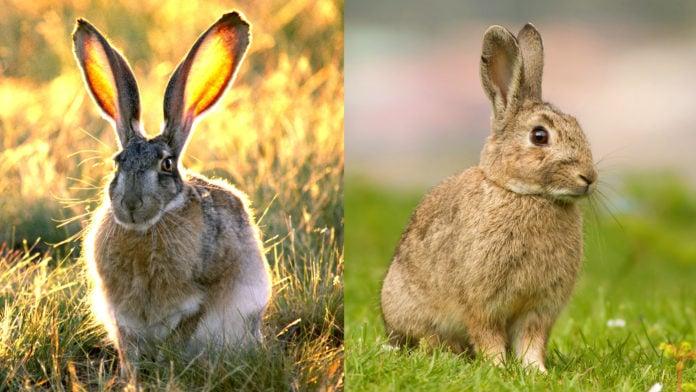 Чем заяц отличается от кролика?