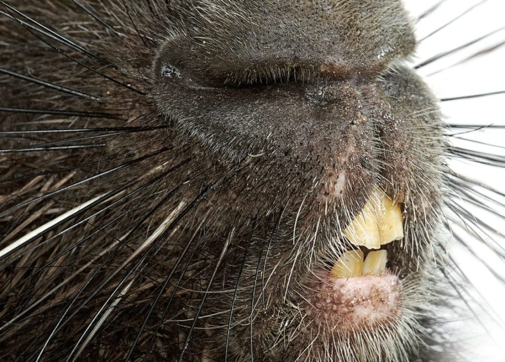 Зубы дикобраза