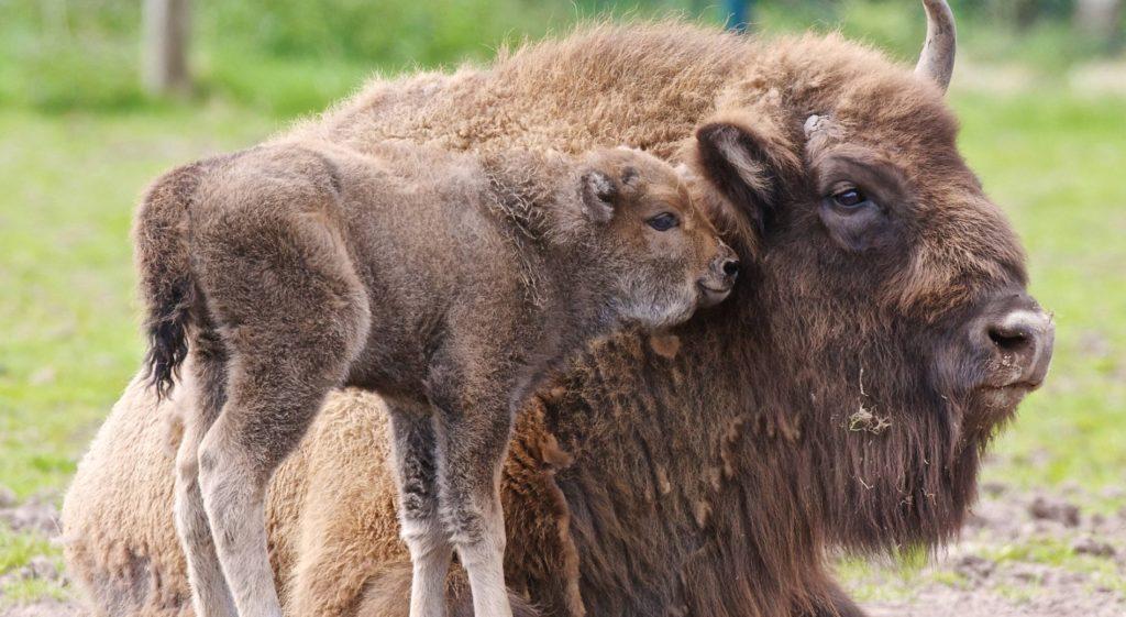 Мать и теленок