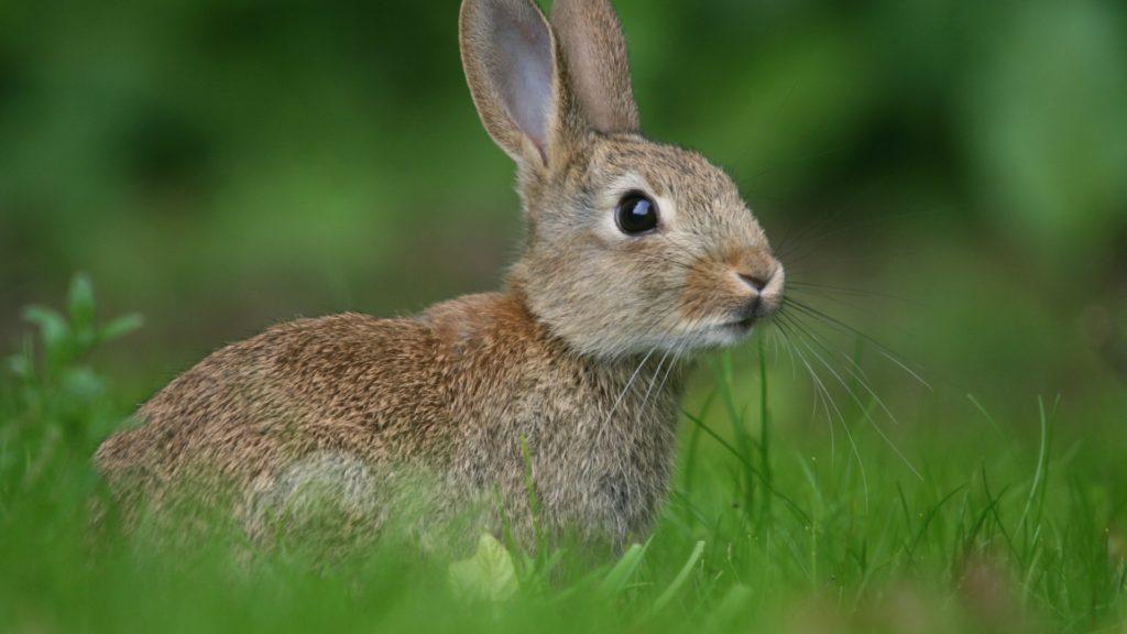 Заяц - одно из лакомых блюд лисицы