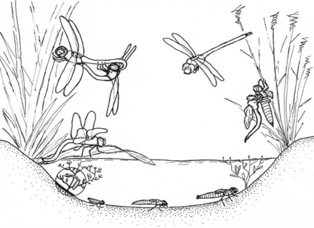 Жизненный цикл стрекозы