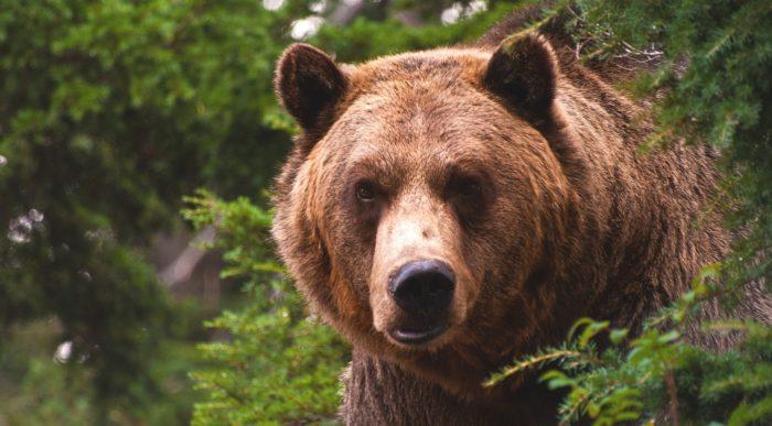 Медведь - один из опаснейших врагов кабана