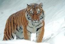 Животные России - Амурский тигр