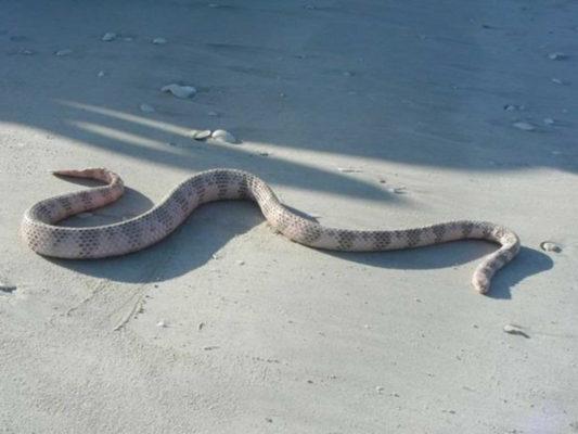 Морская змея - Дюбуа