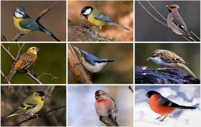 Зимующие птицы России – названия, описание, особенности, образ жизни, фото и видео
