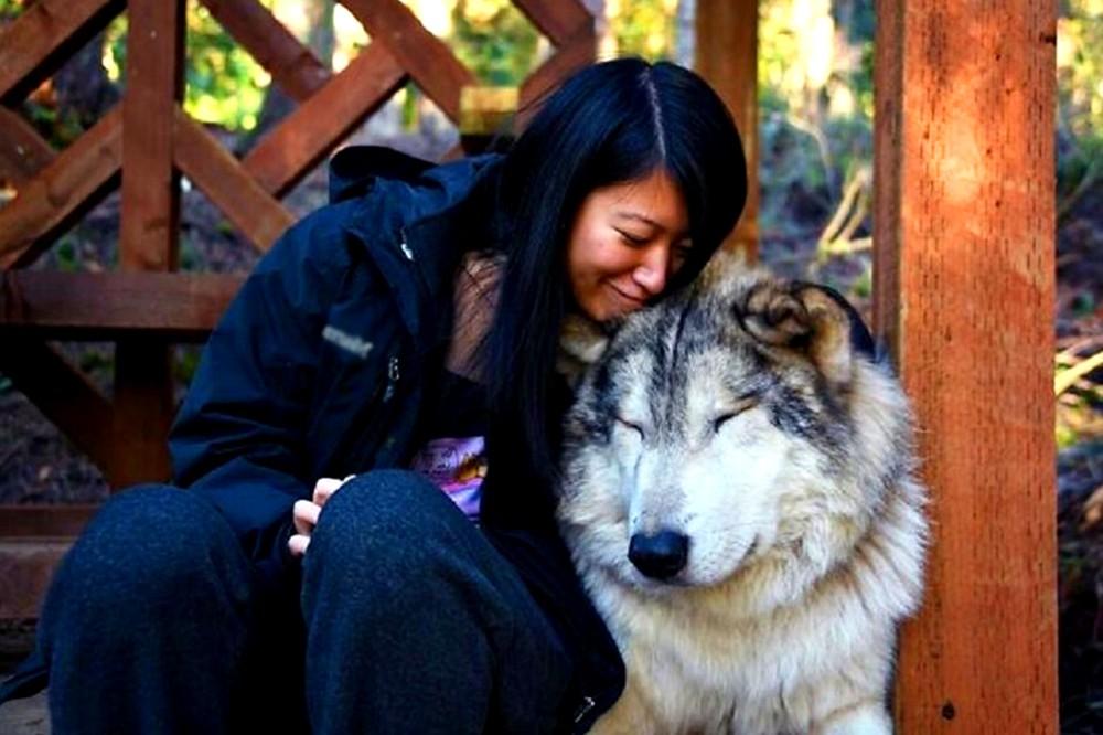 Волки, живущие в заповеднике Анакортс (США), известны своим дружелюбием