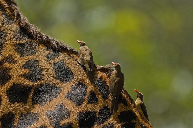Жираф и скворцы