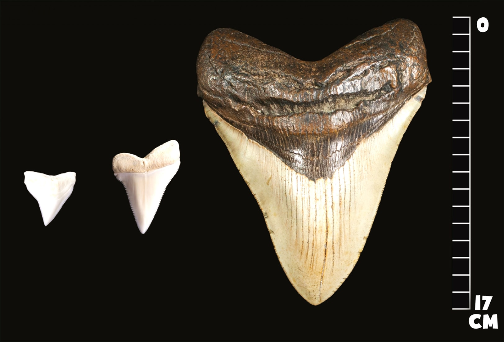 Зубы мегалодона и белой акулы