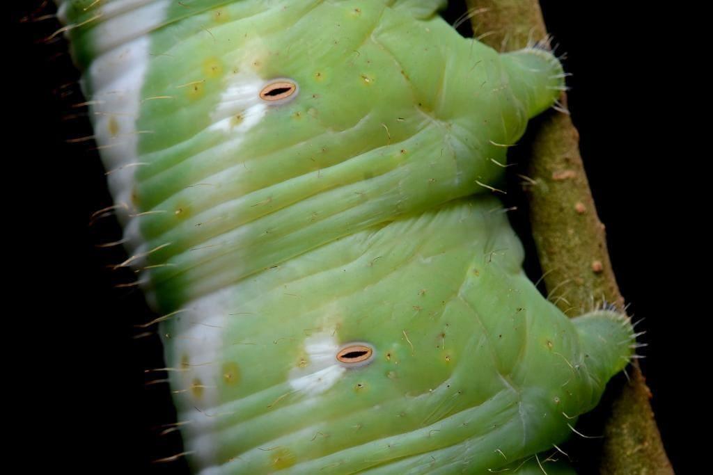 Дыхальца гусеницы